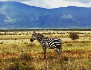 Zebra nello Tsavo Est in Kenya