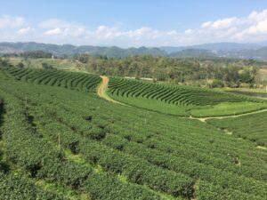 Piantagioni del The Thailandia del Nord